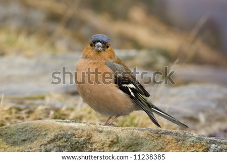 Male Chaffinch on a rock