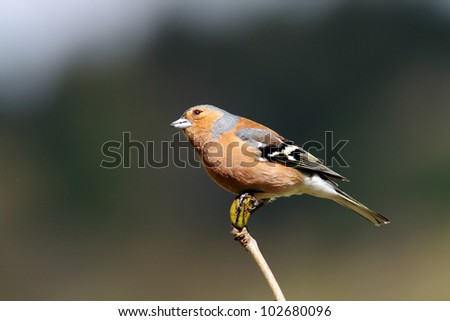Male Chaffinch perched on top of a stick