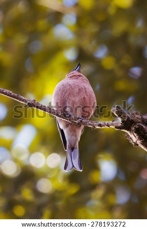 Male Chaffinch singing in the morning sunshine of a spring British garden - stock photo