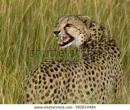 male cheetah in , Kenya
