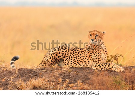 Male cheetah sitting in grass and looking for its pray in Masai Mara, Kenya - stock photo