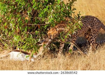 Male cheetah sitting in grass near a killed gazelle in Masai Mara, Kenya - stock photo