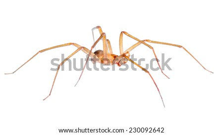Male Chilean Recluse Spider (Loxosceles laeta). Patagonia, Argentina, South America. - stock photo