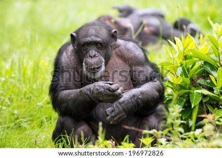 Male Chimpanzee against a background of light green grass and foliage/Chimpanzee/Chimpanzee (pan troglodytes) - stock photo
