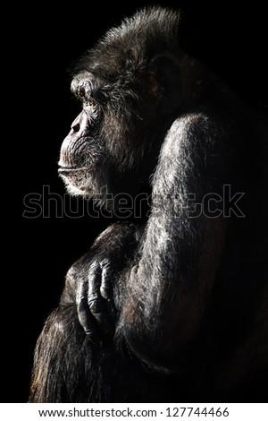 male chimpanzee light and shadow portrait/Chimpanzee Light & Shadow - stock photo