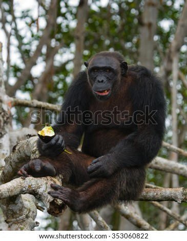 Male Chimpanzee on mangrove branches. Republic of the Congo. Reserve. An excellent illustration.