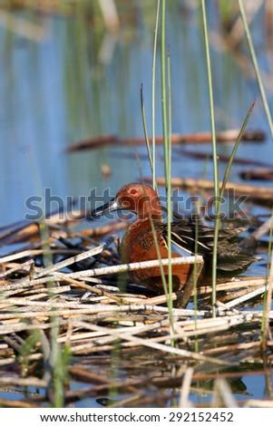 Male Cinnamon Teal in breeding plumage - stock photo