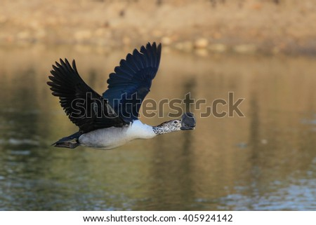 Male comb-billed duck flying over dam, South Africa
