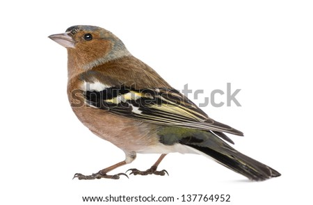Male Common Chaffinch - Fringilla coelebs, isolated on white