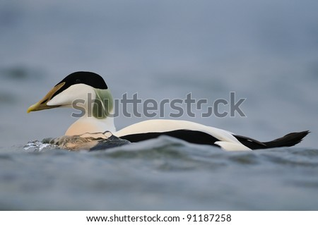 male common eider (Somateria mollissima) document shot