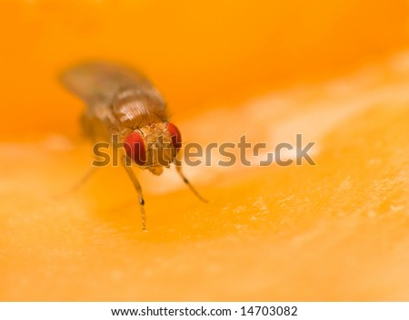 Male common fruit fly (Drosophila Melanogaster) doing what fruit flies do best - enjoying its fruit (apple) - stock photo