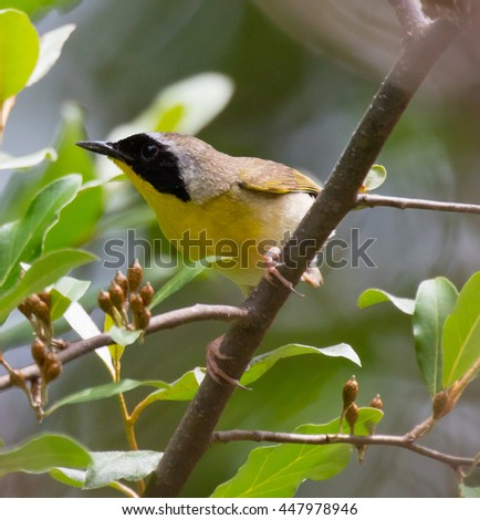 Male Common Yellowthroat (Geothlypis trichas) warbler perched in a tree - stock photo