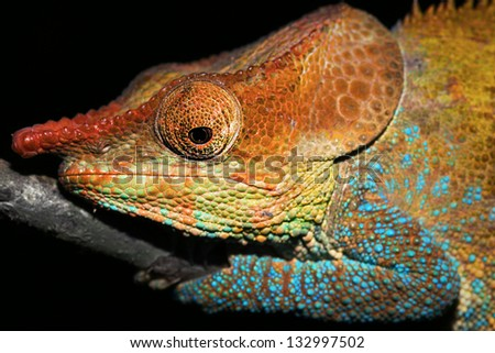 Male Cryptic or Blue-legged Chameleon (Calumma crypticum) rests on a branch in the wilds of Madagascar (Rain Forest of Ranomafana). Incredible vibrant colors at night while sleeping. Tree, foliage. - stock photo