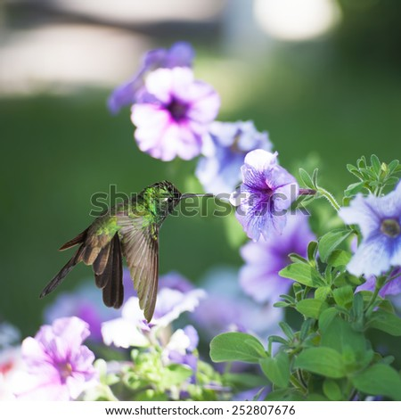 Male Cuban emerald hummingbird(Chlorostilbon ricordii) hovering on violet flower  - stock photo