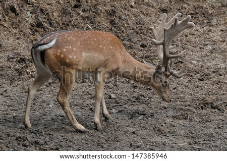 Male deer after the fight