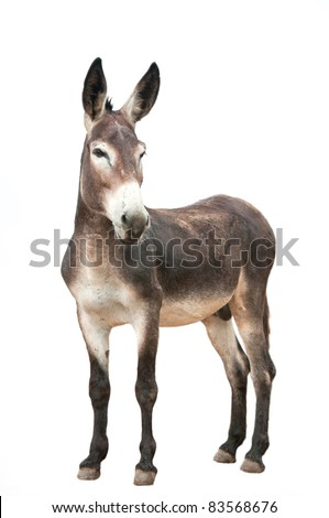male donkey on white background - stock photo