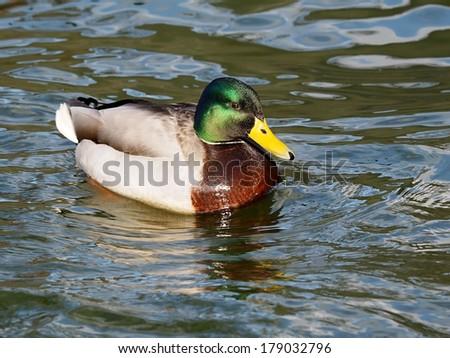 Male duck - stock photo