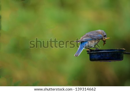 Male Easter Bluebird on feeder in early morning light. - stock photo