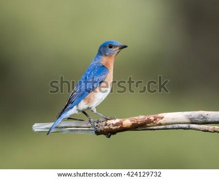 Male Eastern Bluebird  - stock photo