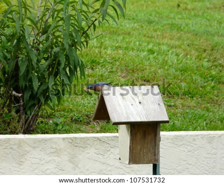Male Eastern Bluebird holding in its mouth some material for a nest in a bluebird house. - stock photo