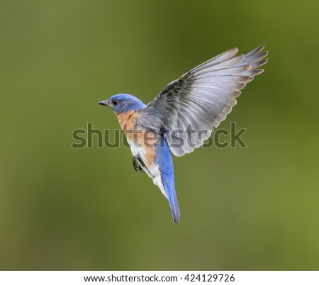 Male Eastern Bluebird in Flight on Green Background - stock photo