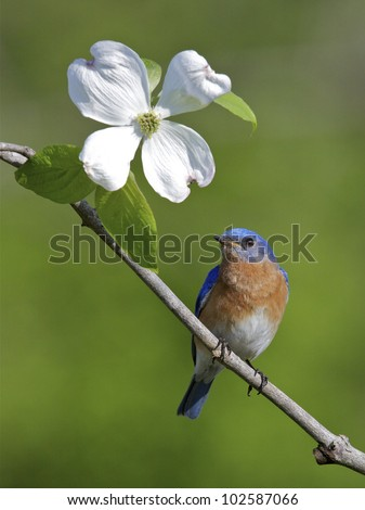 Male Eastern Bluebird on Branch with American Dogwood Flower - stock photo