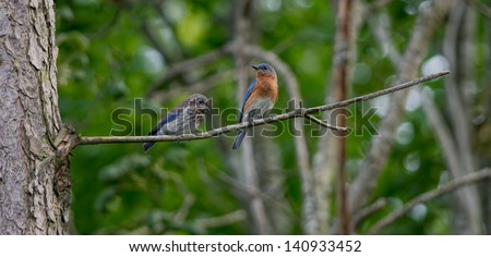 Male Eastern Bluebird perched on branch with two hungry fledglings. - stock photo