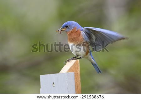 Male Eastern Bluebird (Sialia sialis) lands on a post with a spider in its beak. The spider will be used to feed its offspring - Ontario, Canada - stock photo