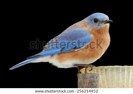 Male Eastern Bluebird (Sialia sialis) on a feeder with a black background - stock photo