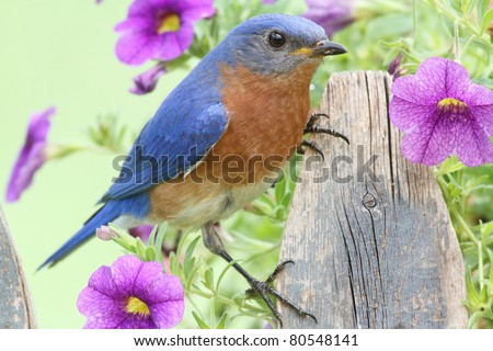 Male Eastern Bluebird (Sialia sialis) on a fence covered with flowers - stock photo