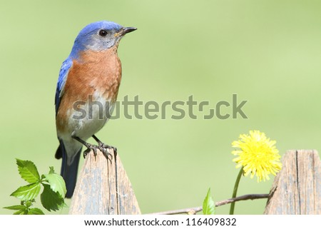 Male Eastern Bluebird (Sialia sialis) on a fence with dandilion flowers - stock photo