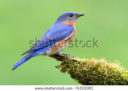 Male Eastern Bluebird (Sialia sialis) on a moss covered perch - stock photo