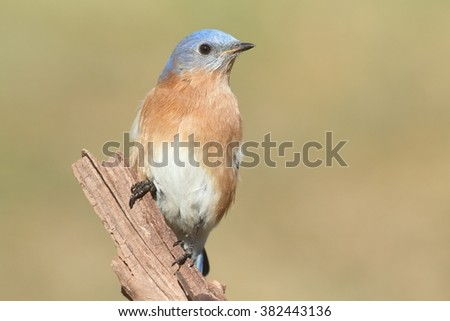 Male Eastern Bluebird (Sialia sialis) on a perch with a green background - stock photo