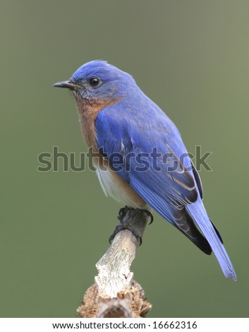 Male Eastern Bluebird (Sialia sialis) on a stump - stock photo