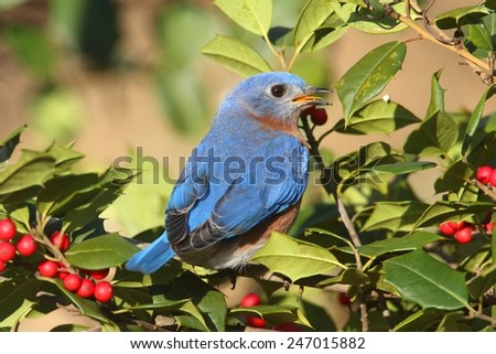 Male Eastern Bluebird (Sialia sialis) perched in a holly bush - stock photo