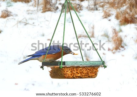 Male Eastern Bluebird (Sialia sialis) perched on a feeder in snow