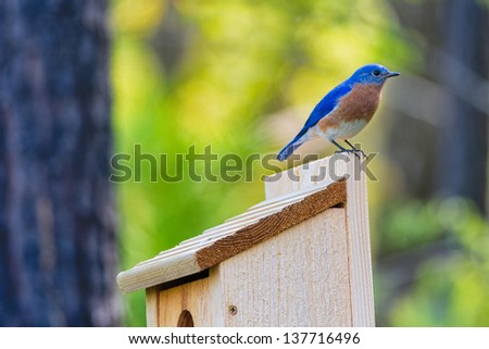 Male Eastern Bluebird sitting on top of nest box in early Spring morning sun.