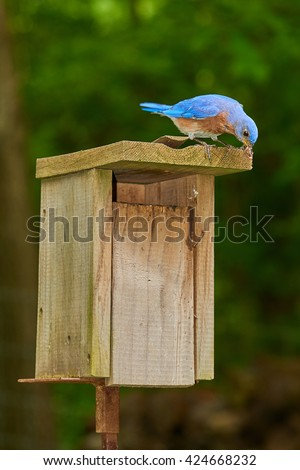 Male Eastern Bluebird with Earthworm - stock photo