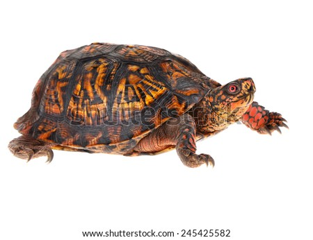 Male Eastern Box Turtle - United States North America Land Turtle - stock photo
