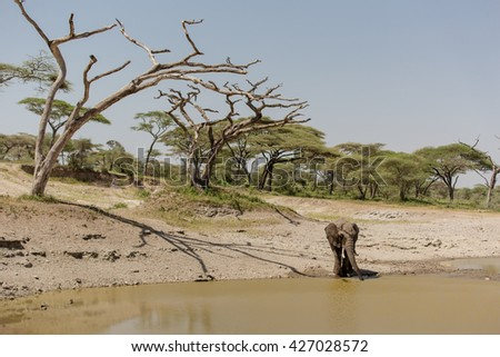 Male elephant drinking water in the african savanna - stock photo