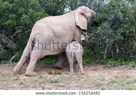 Male elephant feeds while his mother also feeds at Addo elephant elephant national park, eastern cape, south africa - stock photo