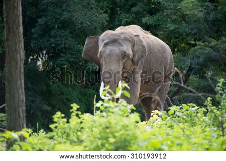 male elephant in the forest