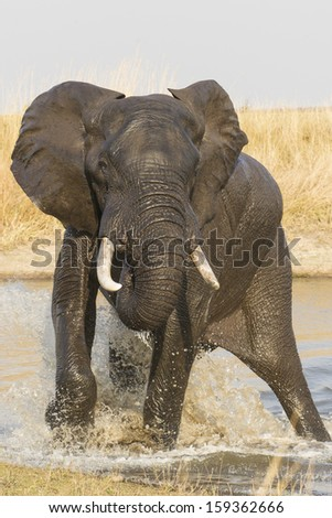 Male Elephant, (Loxodonta africana) splashing in water in south africa's Kruger Park - stock photo