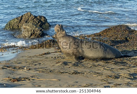 Male Elephant Seal Barking On The Beach