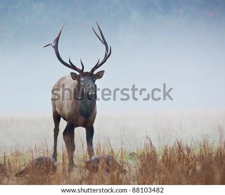 Male elk in Smokey mountains in Autumn - stock photo