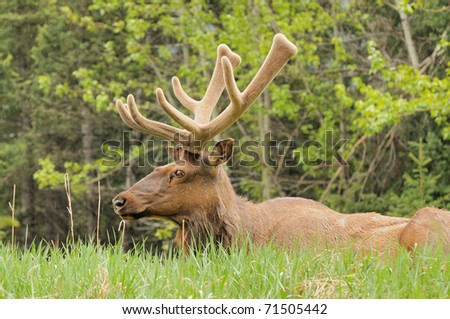 Male Elk sitting in the rain - stock photo
