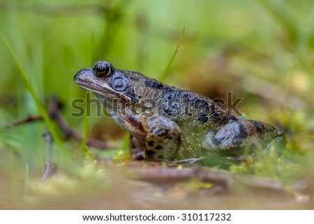 male European common or grass frog (Rana temporaria) on the waterfront of an amphibian pond - stock photo