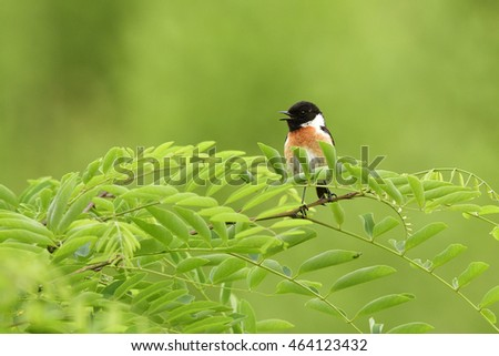 Male European stonechat in the reed