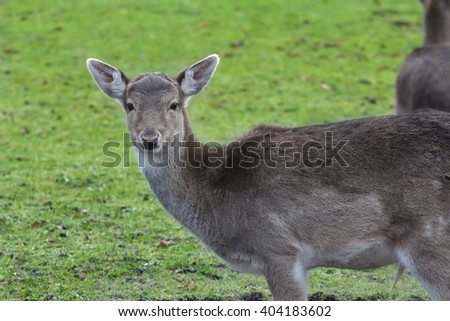 Male fallow deer with cold season dark unspotted coat looking at camera at green pasture background - stock photo