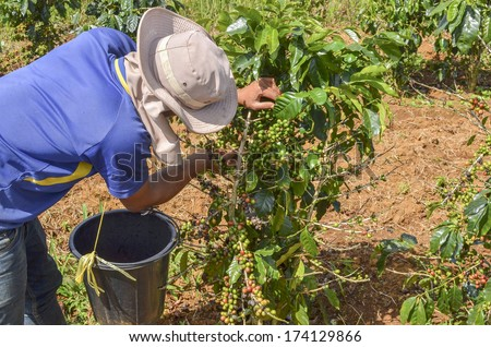Male farmer with a basket of red arabica coffee berries hand picking at coffee plantation - stock photo
